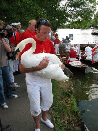 A Queen's Swan Upper with a mute swan   BeatrixBelibaste